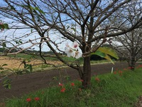 西都原の花が見頃でした。