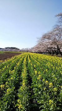 西都原 菜の花と桜