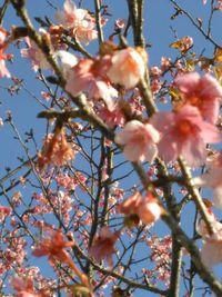 北郷駅前の桜