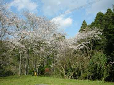 桜の色をストールにラックダイで・・・・