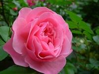 朝の薔薇たち♪
