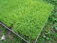 「今回植えた苗」 2015/06/26 20:13:38