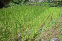 「稲が生長してきました」 2015/09/21 16:59:00
