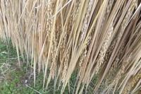 「そろそろ脱穀です」 2014/10/21 09:18:18