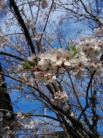 桜咲き つばめの子舞う 鵜戸の空