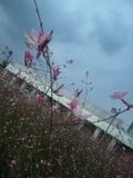 ガウラ 和名:白蝶草