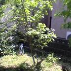 びっくりグミの木