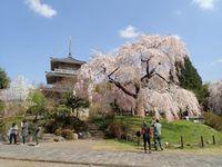 五ヶ瀬町 浄専寺の枝垂桜