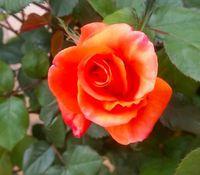 プリンセスミチコ開花
