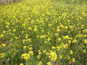 自然栽培の菜の花