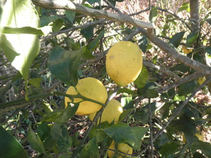 自然栽培のレモン