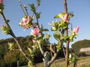 かりんの花・・2