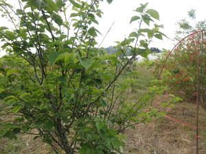 小鳥たちに食べられたサクランボの木