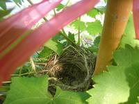 ぶどう棚に鳥の巣