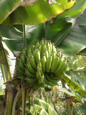 収穫を待つバナナ