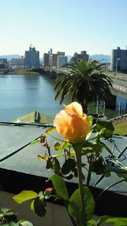 バラが咲き始めました