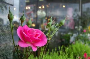 お店の前のバラのガーデンより