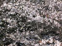桜の開花予想では