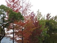 今年の紅葉は色づきが悪い?